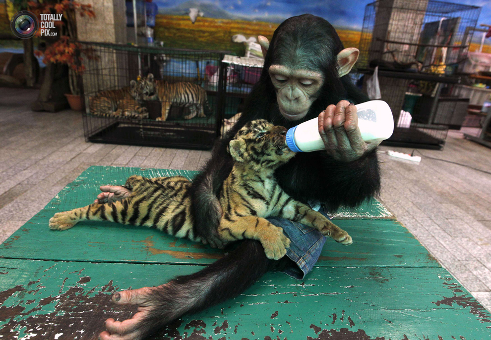 fotos-mas-impactantes-2011 (23)   ForFun :D Orangutan Y Chimpance